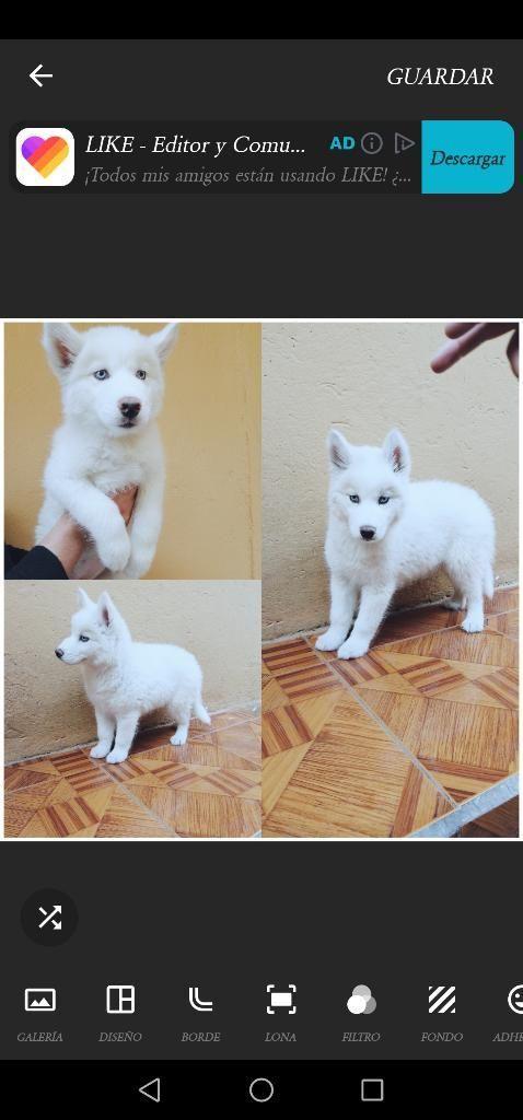Bellos Husky Siberianos Blanco