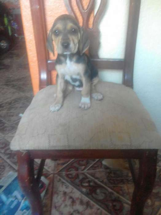 Vendo Cachorra Pointer Americano