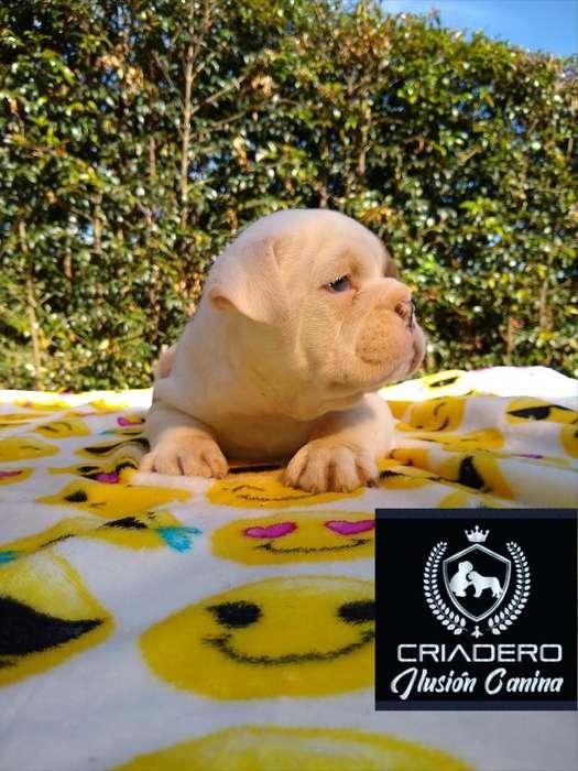 Bulldog Ingles Merle Ojos Azules