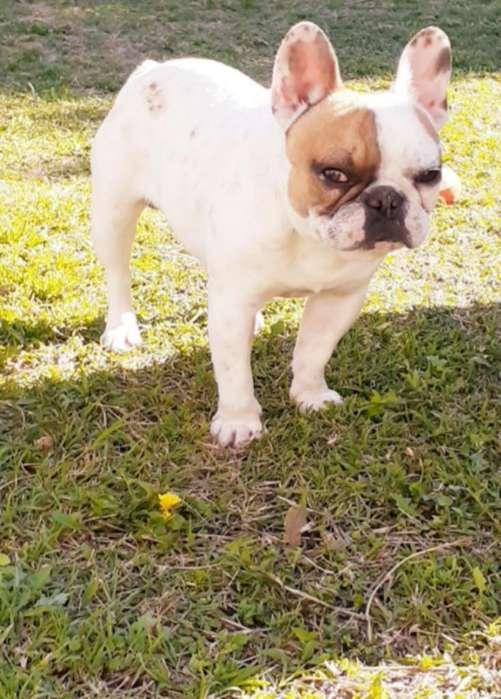 Servicio Bulldog Frances 1.000 Pesos