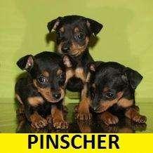 PINSCHER <strong>cachorro</strong>S PUROS EN VENTA*** PET SHOP EN CALI
