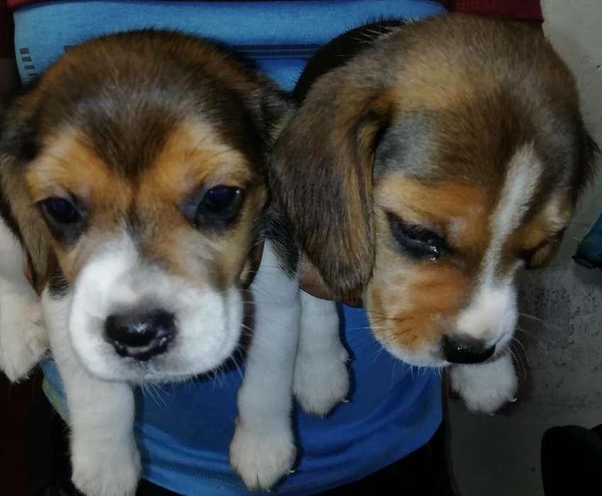 <strong>cachorro</strong>s Beagles Tricolor Patas Cortas