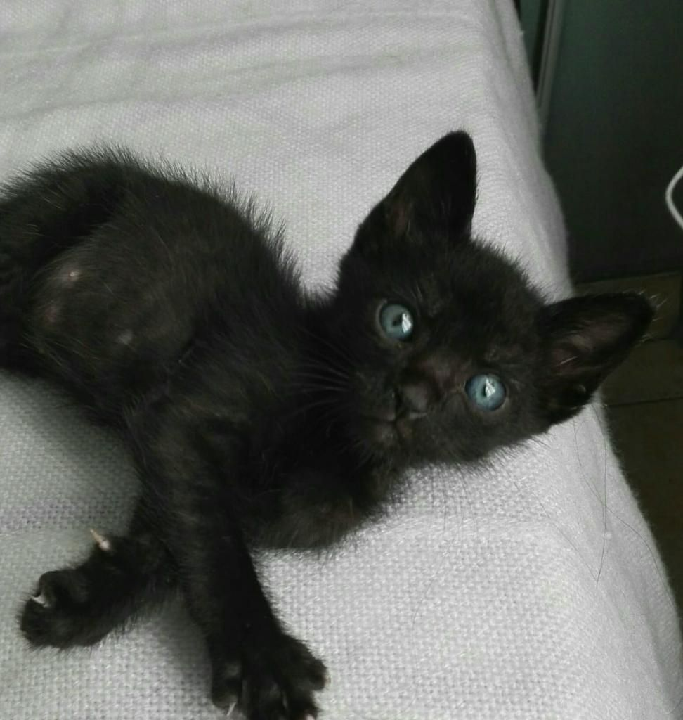 Gatito para Adopción Super Responsable