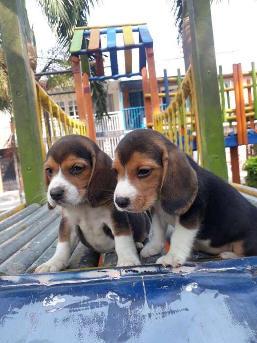 <strong>beagle</strong> Tricolor Mini