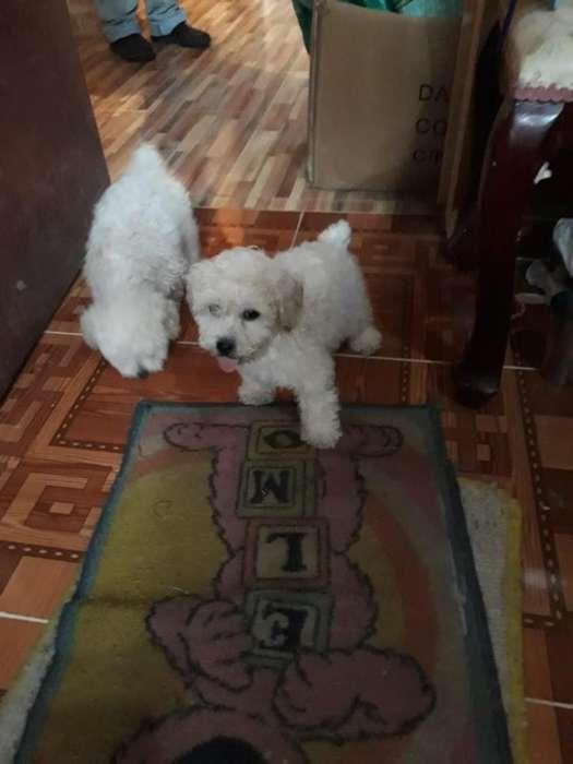 french poodle hermosos cachorro de 2 meses, tamaño pequeño, excelente genética.