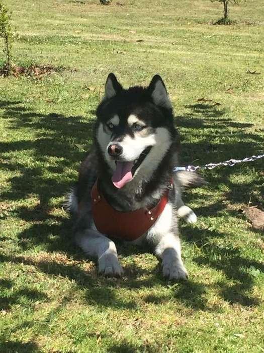 Husky Siberiano para reproducción Ojos Azules