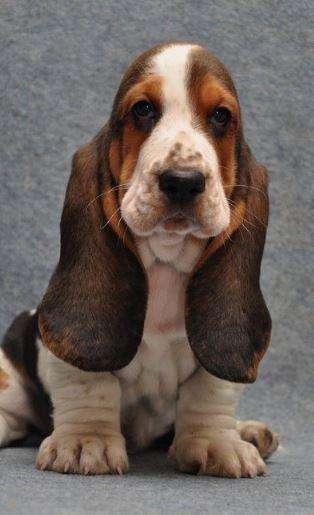 basset hound tricolor limon cachorros puros