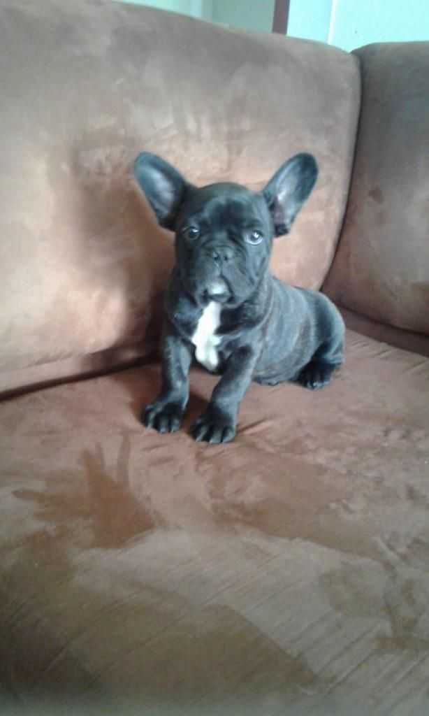 BULLDOG FRANCES BLUE Cachorros Raza Pura DESDE