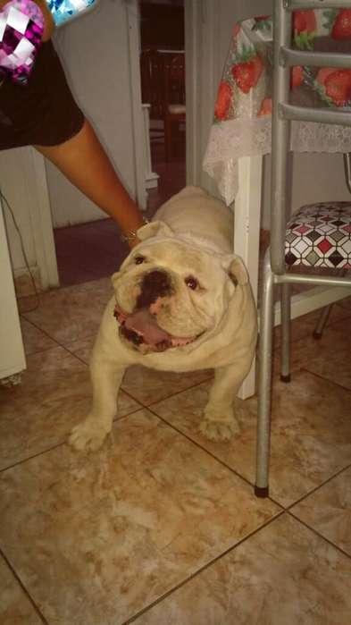 Busco Novia <strong>bulldog</strong> Ingles para Servicio