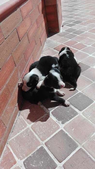 Cachorros border <strong>collie</strong>