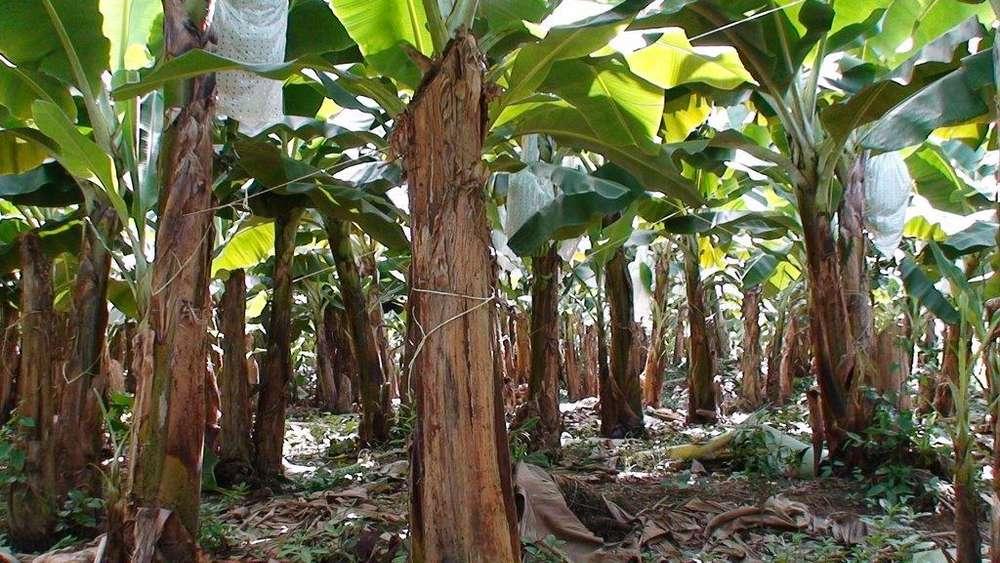 hacienda bananera entre guayas y cañar sector la troncal el triunfo 167 hectareas