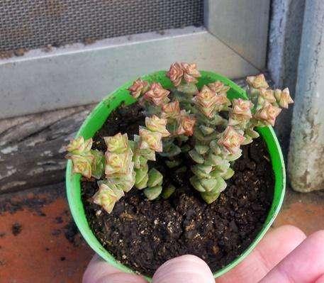 Planta crassula baby neck lace Maceta 8