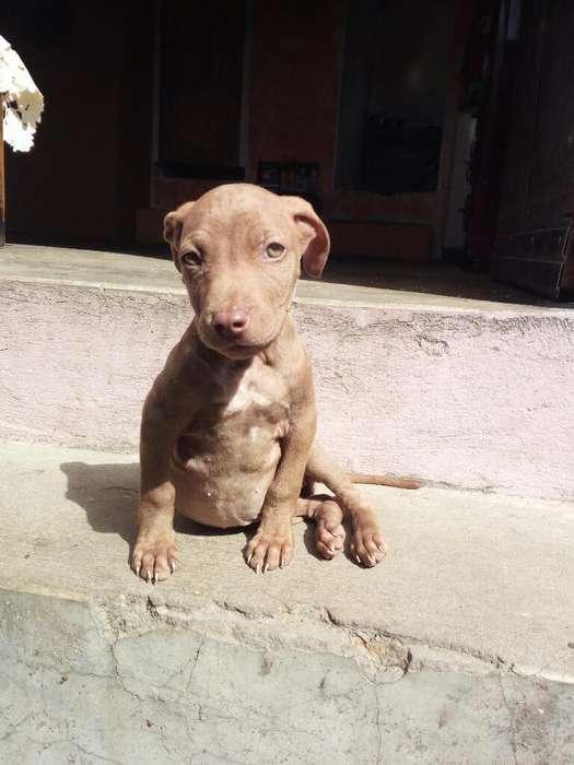 Cachorra American Pitbull Terrier