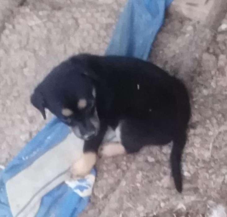 <strong>cachorro</strong>s Criollos en Adopción