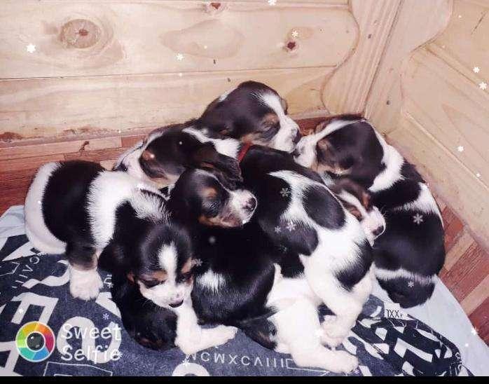 Hermosos cachorros BASSET HOUND BATATAS
