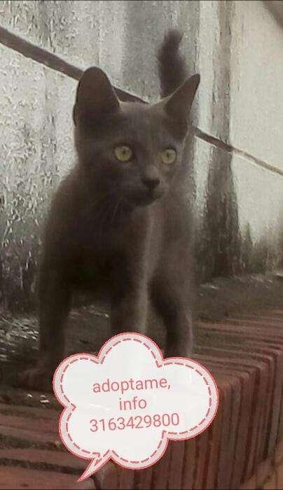gatico macho en adopción, tiene 2 meses (esterilizado)