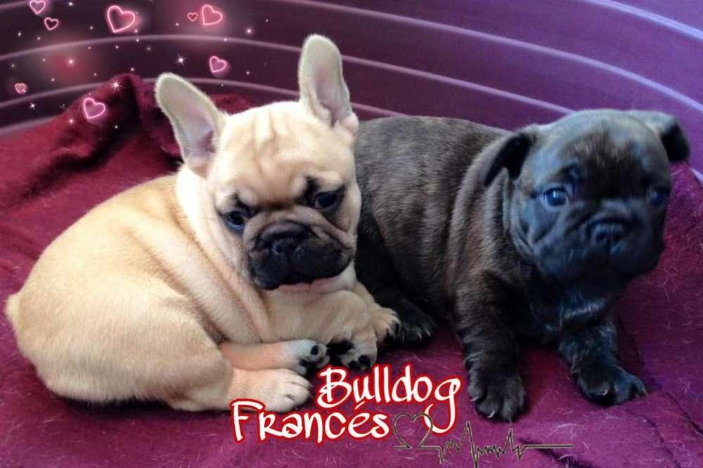 Bulldog Francés Machos y Hembras Cachorros