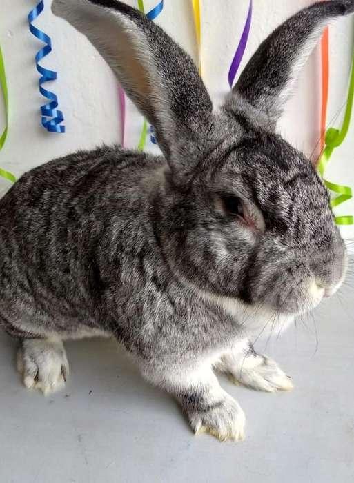 Conejos Chinchilla Bogotá 3224499925