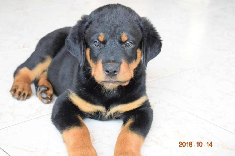 <strong>cachorro</strong>S ROTTWEILLER