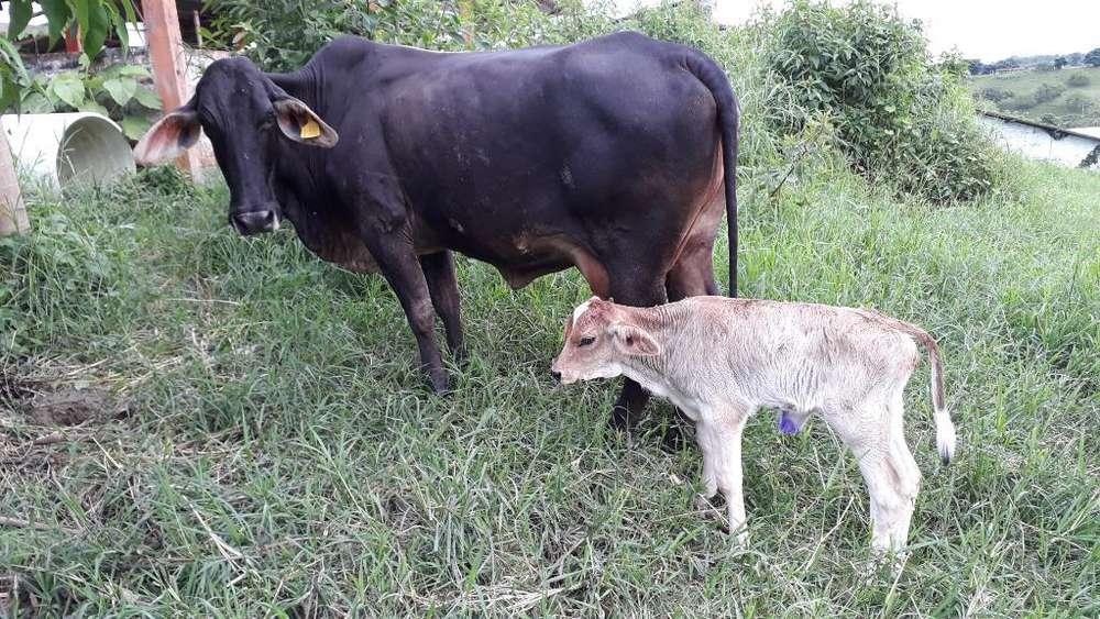 Vendo Vaca con Cria Hembra