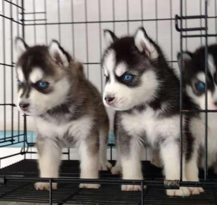 Lobos Siberianos Ojos Azules en Venta