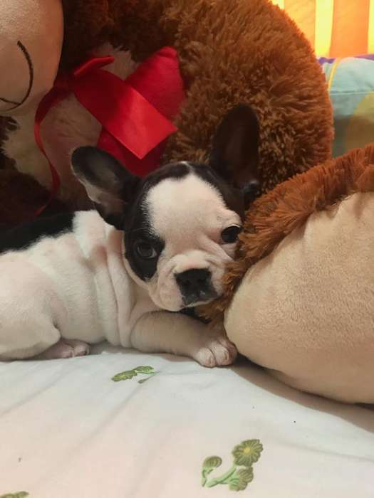 bulldog frances hembra full PEDIGREE