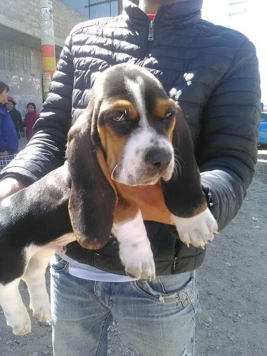 Vendo Cachorro Baset Huse