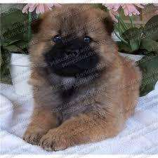 lindos <strong>cachorro</strong>s de chow chow