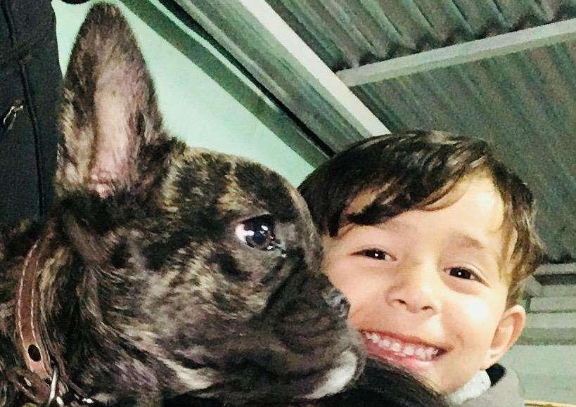 BULL DOG FRANCES atigrado con FCA *PARA SERVICIO*