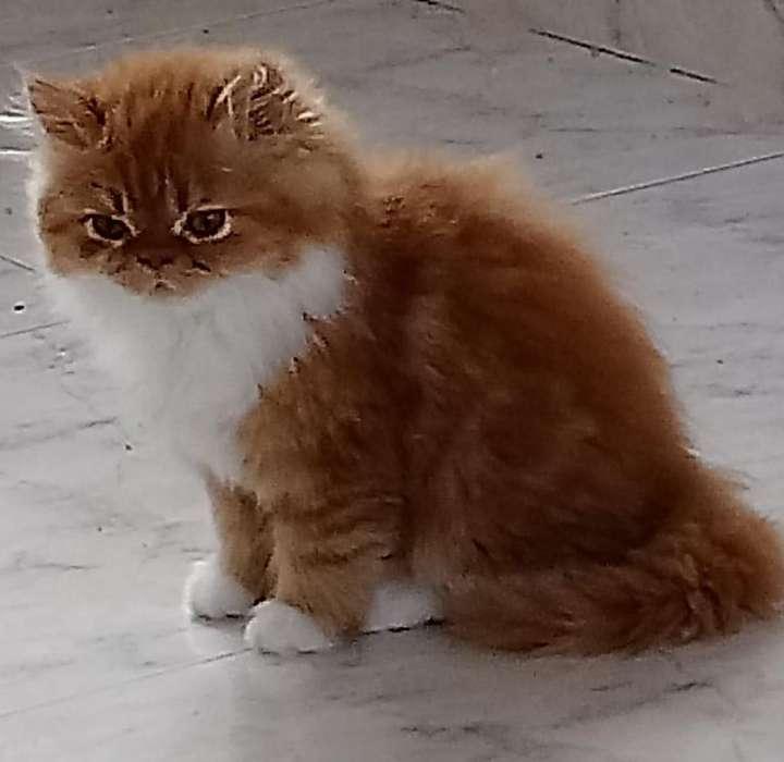 Se venden hermosos gatos persa