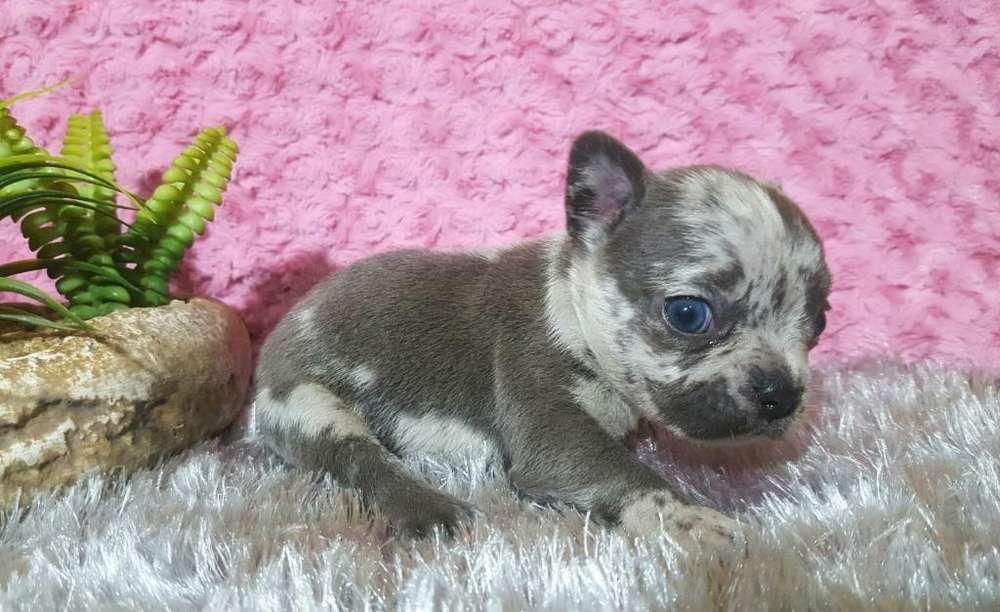 Bulldog Francés Blue Merle Hembra ...