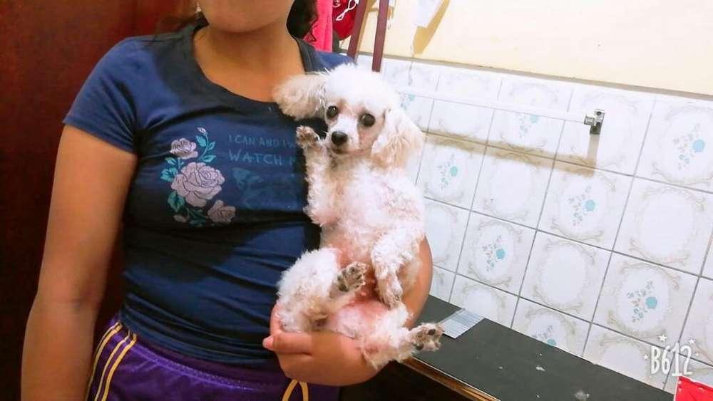 Vendo Linda Poodle Mini 20 Cm (( Adulta