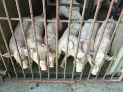 Se Venden Cerdos Cruce de Pic 410 Y Land