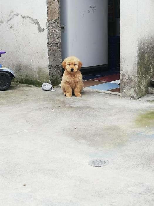 <strong>cachorro</strong> Golden Retriever