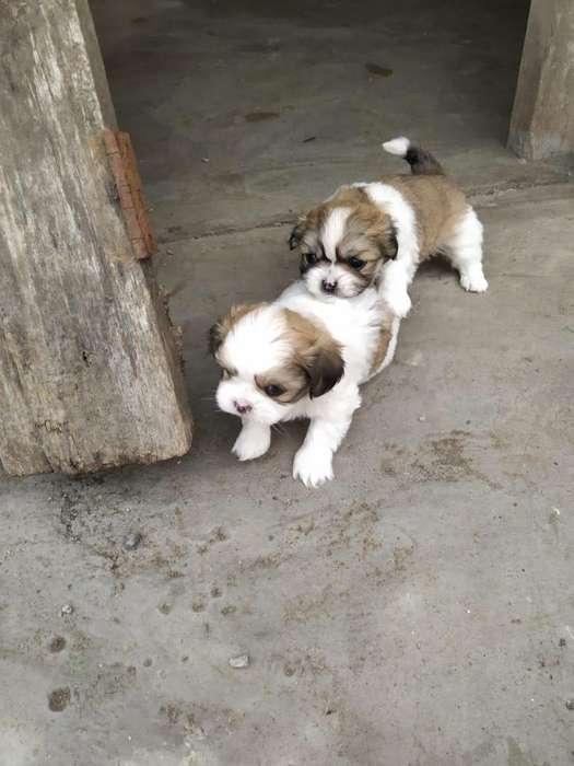 ShithZu Cachorros