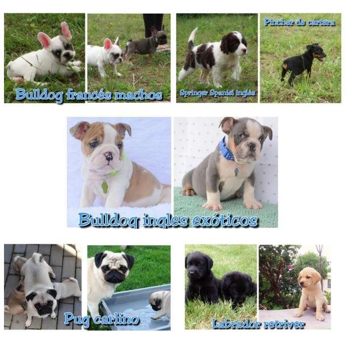Lindos Cachorritos <strong>bulldog</strong> Frances, Pug