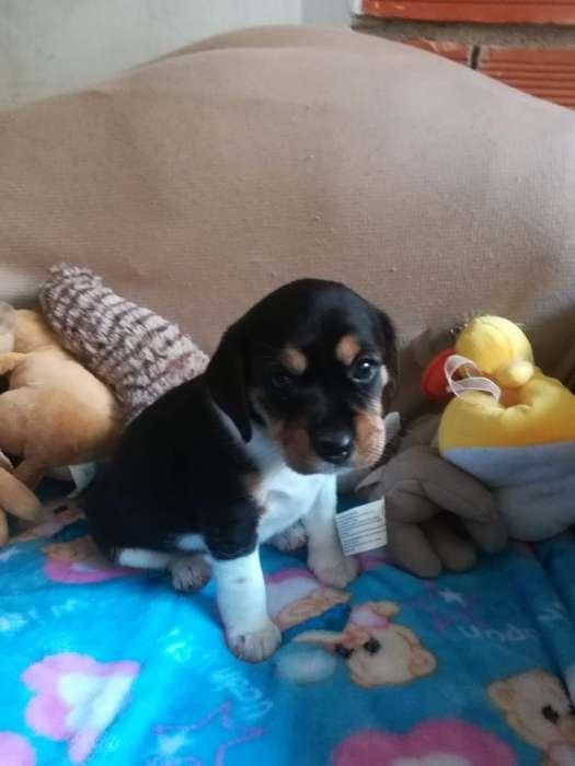 Vendo Cachorros <strong>beagle</strong>