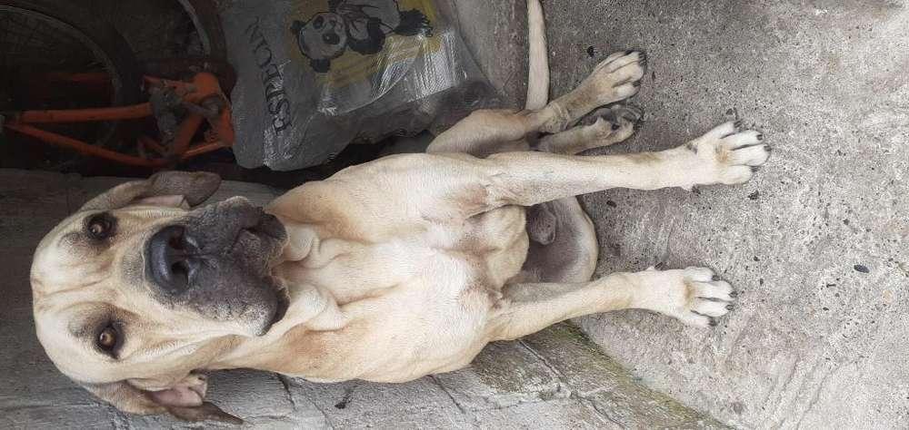 Busco novia para mi perrito filan brasilero