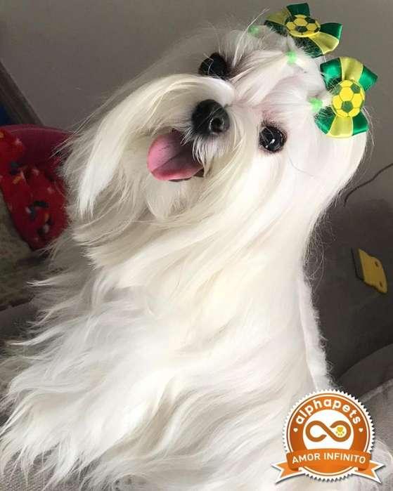 <strong>cachorro</strong>S BICHON MALTES DE LAS MEJORES LINEAS ENVÍO NACIONAL INTERNACIONAL