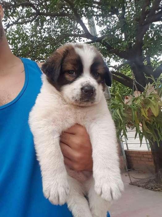 BELLO <strong>cachorro</strong> San Bernardo Disponible
