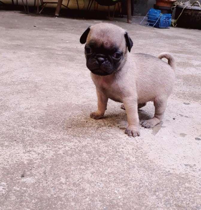 Cachorro Pug Mini