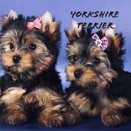 Cachorros Yorshire <strong>terrier</strong>