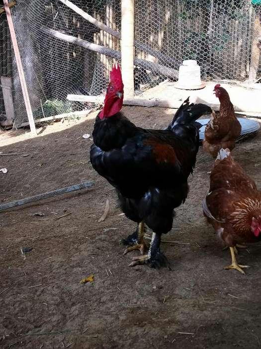Gallo para cra de <strong>gallinas</strong> ponedoras