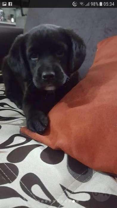 Labrador Retriver Un Mes de Nacido