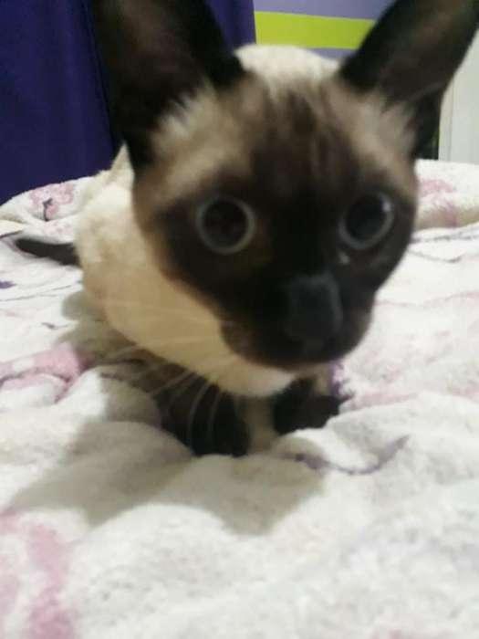 <strong>gato</strong> Siames Busca Novia