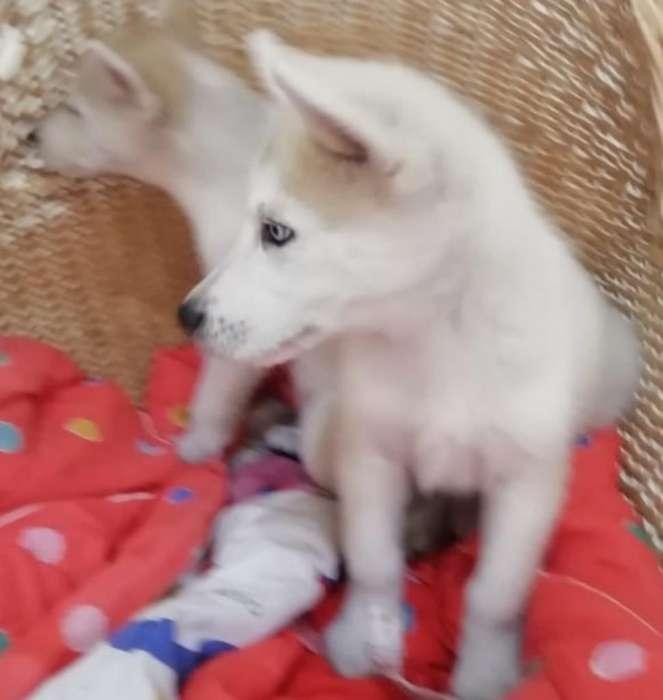 Selectos Exclusivos Siberianos Husky 1a