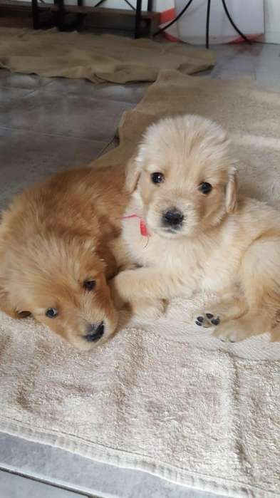 1MACHO Y 1 HEMBRA GOLDEN RETRIEVER - CON PAPELES FCA