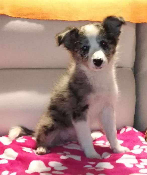 Cachorra Border <strong>collie</strong> Blue Merle