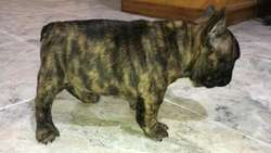 Bulldog Francés Blue Fawn Busca Novia