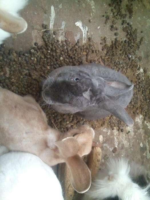 Se Vende Conejos de 1,2,4,5,6meses
